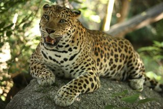 In the Cardamom mountains, the leopard still finds an intact habitat.